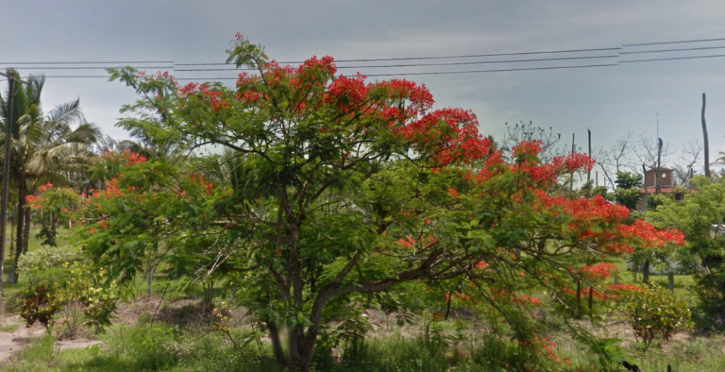 Bob LaGarde - Road trip through Central America - Beautiful Tree-Hwy to Veracruz